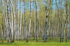 Bosque do vidoeiro imagens de stock