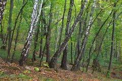 Bosque do vidoeiro fotografia de stock royalty free