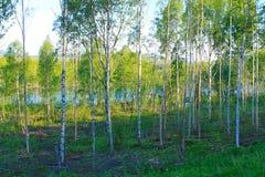 Bosque do vidoeiro foto de stock