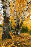 Bosque do vidoeiro amarelo da queda fotos de stock royalty free