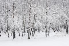 Bosque do vidoeiro após a queda de neve Região de Rússia, Sibéria, Novosibirsk Imagem de Stock