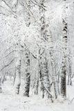 Bosque do vidoeiro após a queda de neve Região de Rússia, Sibéria, Novosibirsk Fotos de Stock Royalty Free