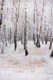 Bosque do vidoeiro após a queda de neve Região de Rússia, Sibéria, Novosibirsk Fotografia de Stock Royalty Free