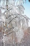 Bosque do vidoeiro após a queda de neve Região de Rússia, Sibéria, Novosibirsk Foto de Stock Royalty Free