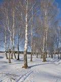 Bosque do vidoeiro com hoarfrost Fotografia de Stock Royalty Free