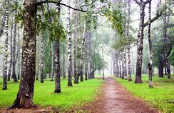 Bosque do vidoeiro com névoa no outono Imagens de Stock Royalty Free
