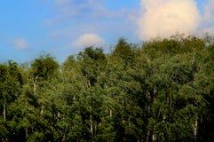 Bosque do vidoeiro contra o céu azul imagem de stock