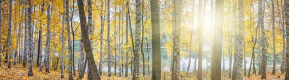 Bosque do vidoeiro contra o lago no dia ensolarado do outono, paisagem fotos de stock royalty free
