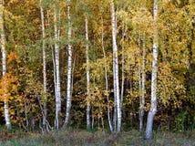 Bosque do vidoeiro de árvores novas imagem de stock royalty free