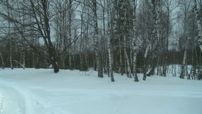 Bosque do vidoeiro do inverno em uma opinião do dia do frio desagradável vídeos de arquivo