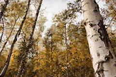 Bosque do vidoeiro em outubro imagens de stock