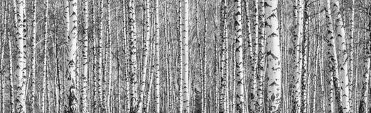 Bosque do vidoeiro em um dia de mola ensolarado imagem de stock