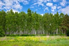 Bosque do vidoeiro em um dia de ver?o ensolarado foto de stock royalty free