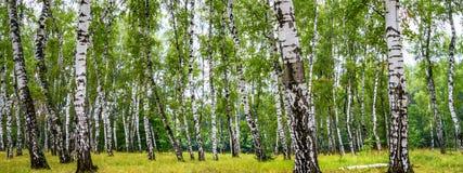 Bosque do vidoeiro em um dia de ver?o ensolarado fotografia de stock