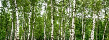 Bosque do vidoeiro em um dia de ver?o ensolarado fotos de stock