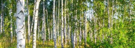 Bosque do vidoeiro em uma bandeira ensolarada da paisagem do dia de verão foto de stock royalty free
