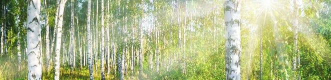 Bosque do vidoeiro em uma bandeira ensolarada da paisagem do dia de verão imagem de stock royalty free