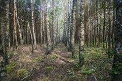 Bosque do vidoeiro em uma manhã do verão Fotos de Stock