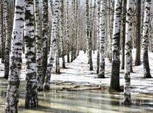 Bosque do vidoeiro na água de mola adiantada foto de stock