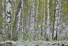 Bosque do vidoeiro na mola imagem de stock