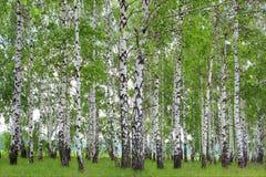 Bosque do vidoeiro na mola. Imagem de Stock Royalty Free