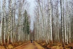 Bosque do vidoeiro na primavera imagens de stock