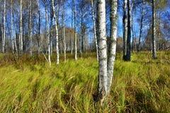Bosque do vidoeiro na queda fotos de stock