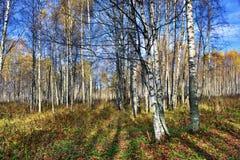 Bosque do vidoeiro na queda imagem de stock