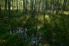 Bosque do vidoeiro nas sombras das árvores da luz solar no amanhecer Fotos de Stock