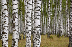 Bosque do vidoeiro no dia de verão fotografia de stock