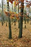 bosque do vidoeiro no dia do outono imagem de stock