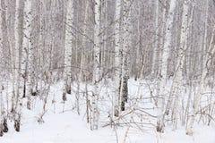 Bosque do vidoeiro no inverno Imagem de Stock