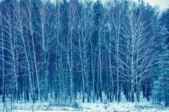 Bosque do vidoeiro no inverno nevado foto de stock