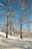 Bosque do vidoeiro no inverno sob a neve em um dia claro Imagem de Stock Royalty Free