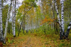 Bosque do vidoeiro no outono imagem de stock