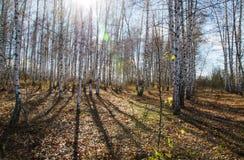 Bosque do vidoeiro no outono foto de stock