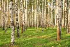 Bosque do vidoeiro no outono adiantado Imagem de Stock Royalty Free