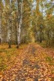Bosque do vidoeiro no outono no dia ensolarado imagem de stock royalty free