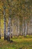 Bosque do vidoeiro no outono no dia ensolarado imagens de stock