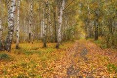 Bosque do vidoeiro no outono no dia ensolarado fotos de stock royalty free
