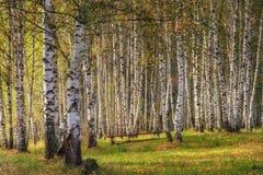 Bosque do vidoeiro no outono no dia ensolarado imagem de stock