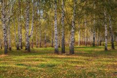 Bosque do vidoeiro no outono no dia ensolarado foto de stock royalty free