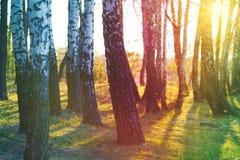 Bosque do vidoeiro no por do sol imagens de stock