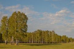 Bosque do vidoeiro No primeiro plano s?o as ?rvores destacadas em um prado fotografia de stock