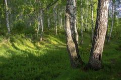 Bosque do vidoeiro no verão foto de stock