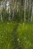 Bosque do vidoeiro no verão imagem de stock