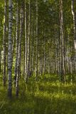 Bosque do vidoeiro no verão foto de stock royalty free