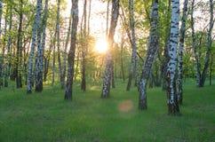 Bosque do vidoeiro, o sol através das árvores imagens de stock