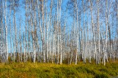 Bosque do vidoeiro do outono imagens de stock royalty free