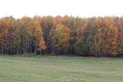 Bosque do vidoeiro do outono fotos de stock
